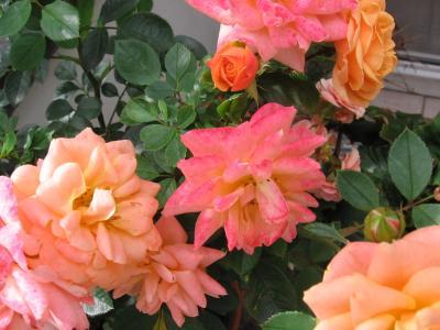 frag_rose1