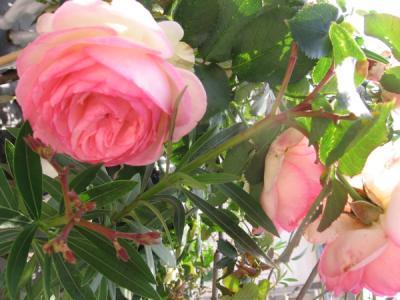 lucky_rose2